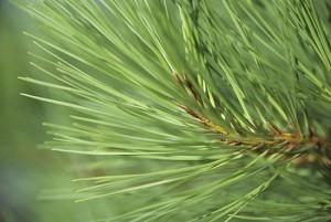 Pine tree needles on tree